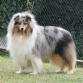 rought collie alequin