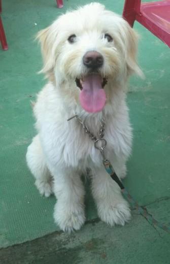 Buscamos pareja para nuestro perro,es mestizo de labrador con gos datura,tiene 8 años y es muy cariñoso.Nos gustaría tener un recuerdo de el.