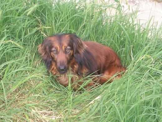 CHISPA, le gusta estar en la hierba fresca del jardin. Nerviosa, vivaracha y muy guardiana.
