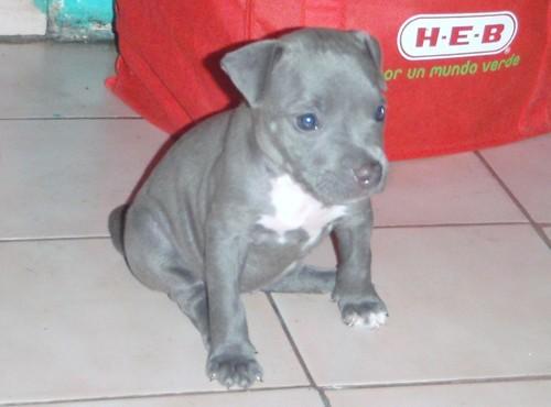 Perros pitbull bebés blue - Imagui