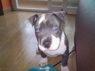Hola soy Neka una cachorrita de american blue preciosa con unos ojos azules impresionantes !=)
