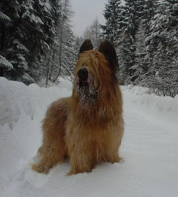 A Bixer le gusta su pelo y revolcarse en la nieve sobre todo es simpatico y me da la pata.