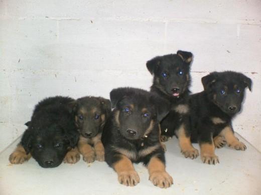 Ficha de crias pastor aleman un perro de manuiko for Pastores alemanes en coruna