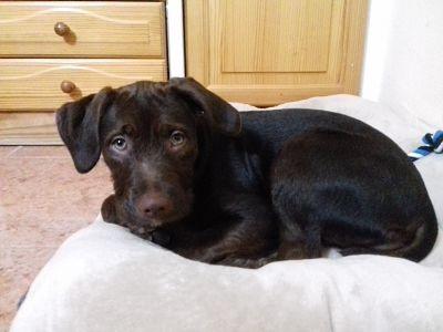 Labradora color chocolate.. ojos claros