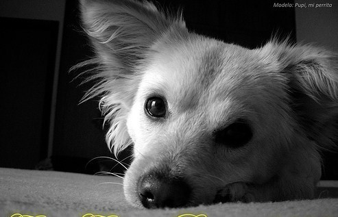 pequeño, color amarillo claro, ojos negros, cariñoso,