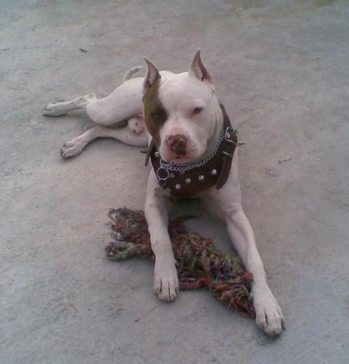 Perros pitbull cachorros de 7 meses - Imagui