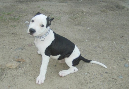 pitbull perro de moda en mexico(pitbull dog fashion mexico