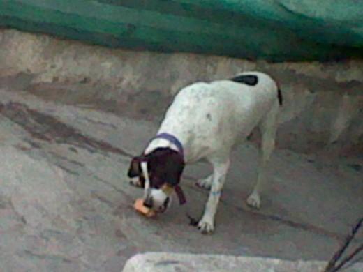 pucca comiendo un hueso