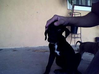 ps esa es mi perra negra es cruze entre boxer y labrador la colita k se ve atrass es de mi perrito boni de 1 mes es un pitbull macho ...