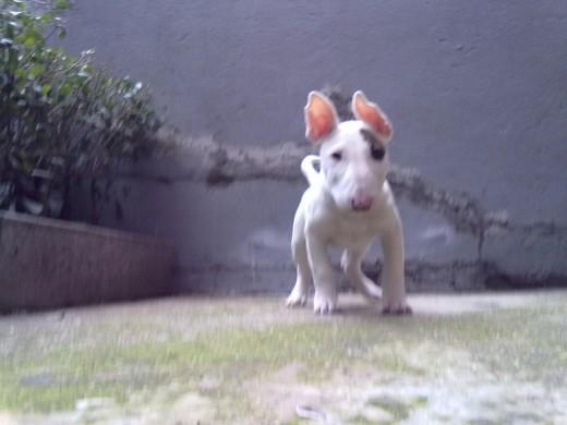 Ficha De Poker Un Perro De Pokerbullterrier Perroscom