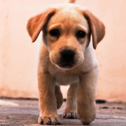 Ella es bella, de casi 2 meses de edad, vive en Mazatlán Sinaloa México, abuelos de pedigree.