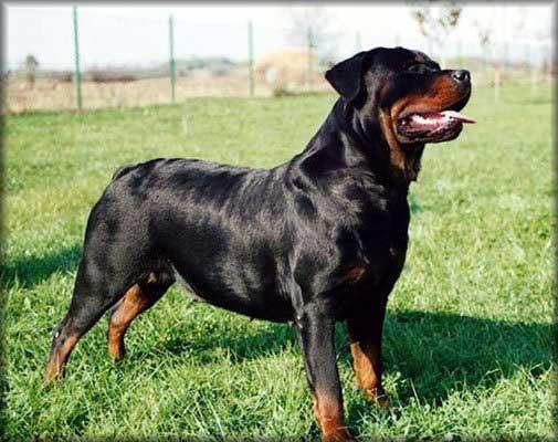 """Este es mi perro Rudis en la casa de mi ABUELO que esta en la plata(enrrealindad vive en la casa de mi abuelo)(pero es mio)(mi mama me dijo """"SI TE COMPRAS UN ROTTWEILER SE QUEDA EN LA CASA DE TU ABUELO"""")Aunque estemos lejos nunca lo voy a olvidar(pero a menudo lo vicito)...!!"""
