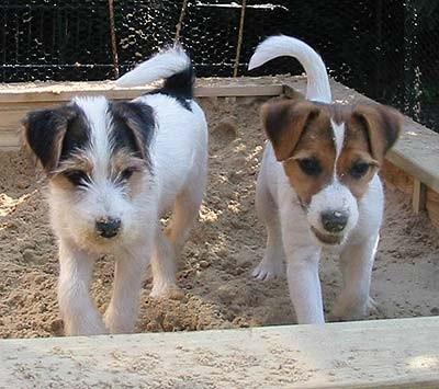 El Fox Terrier de Pelo Duro o Alambre | Perros.com