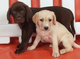 El perrito chocolate es Otis(el otro es Marley)Aunque Otis paresca un santito(no digo que no lo sea)Hace mucho desorden...y siempre se junta con Marley y entre los dos hacen un desorden descomunal!!!