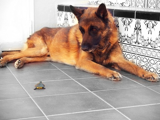 a pesar de ser un perro guarda...es increiblemente cuidadoso con los demás animales de la casa. siempre fue un campeón