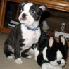 adorables cachorros boston terrier