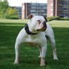 de billy bulldog lennox