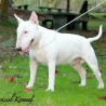BT Classical Kennel White Bull