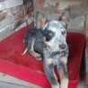 Blue Miss Sheila de Country DOg