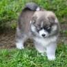 Regalo cariñosos cachorros de pomsky