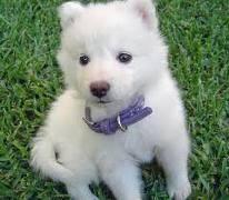 cuidar cachorros samoyedo listo para nuevas viviendas