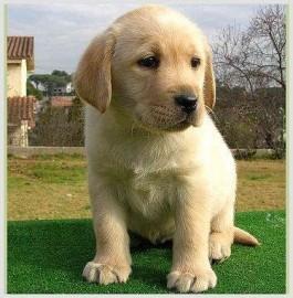 Labrador%20cachorro.jpg