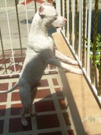 Orion pitbull 8 meses