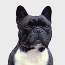 El Bulldog Francés Perroscom