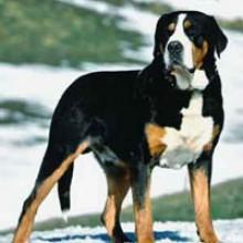 Resultado de imagen para Gran perro de montaña suizo