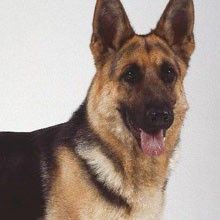 Todo sobre las diferentes razas de perros (1 parte)