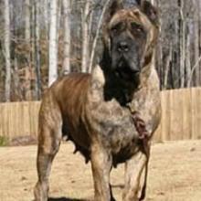 El Dogo Canario | Perros.com