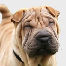 Los perros Shar Pei