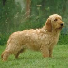 Un perro leonado muy popular